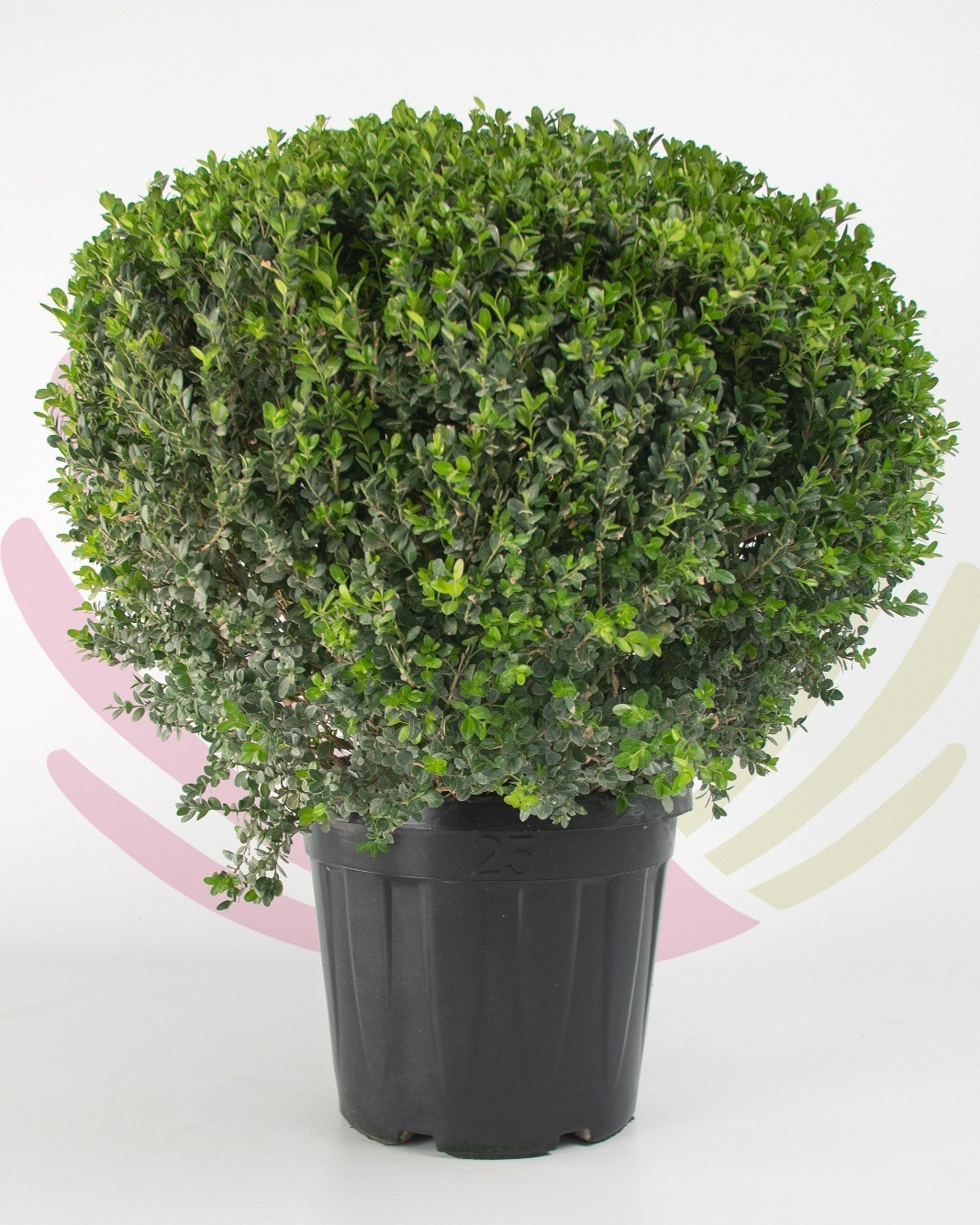 Buxus microphylla Faulkner (bola) 35L